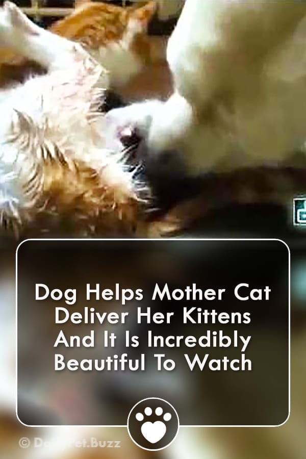 Dog Helps Mother Cat Deliver Her Kittens And It Is Incredibly Beautiful To Watch