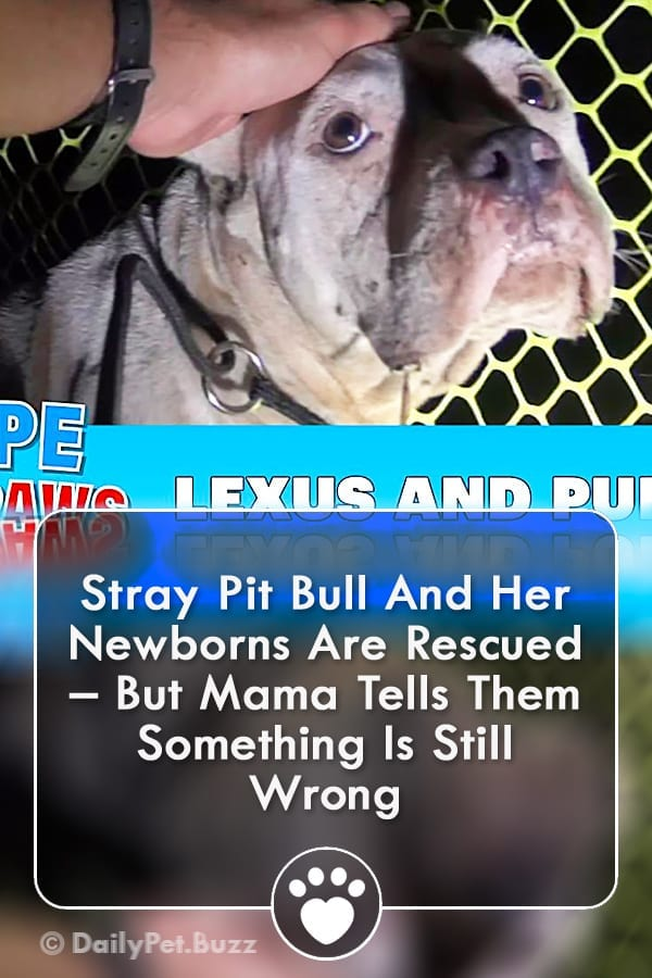Stray Pit Bull And Her Newborns Are Rescued – But Mama Tells Them Something Is Still Wrong