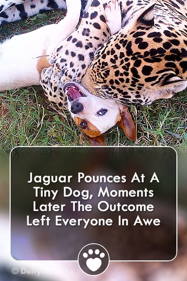 Jaguar Pounces At A Tiny Dog, Moments Later The Outcome Left Everyone In Awe