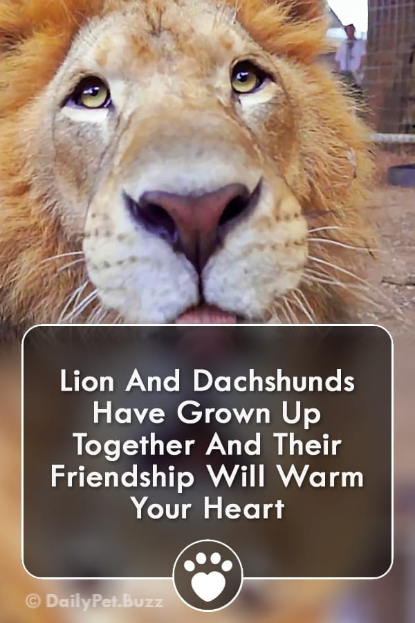Lion And Dachshunds Have Grown Up Together And Their Friendship Will Warm Your Heart