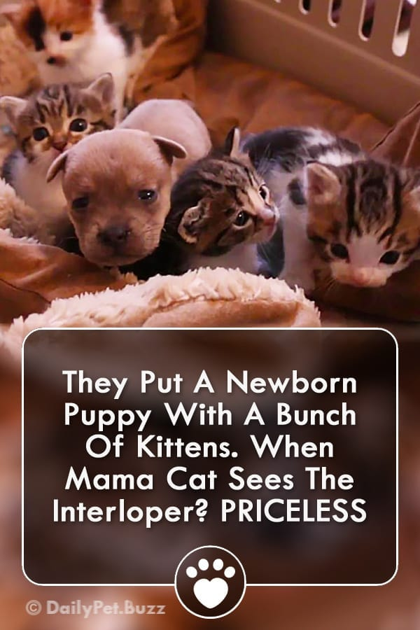 They Put A Newborn Puppy With A Bunch Of Kittens. When Mama Cat Sees The Interloper? PRICELESS