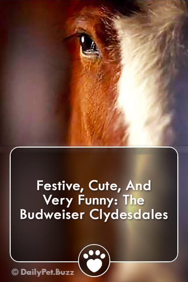 Festive, Cute, And Very Funny: The Budweiser Clydesdales