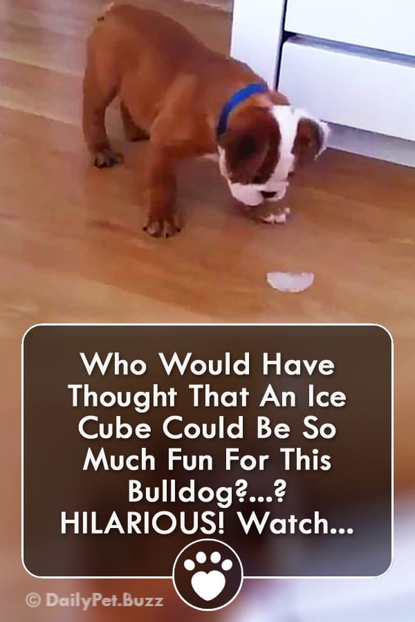 Who Would Have Thought That An Ice Cube Could Be So Much Fun For This Bulldog?? HILARIOUS! Watch...