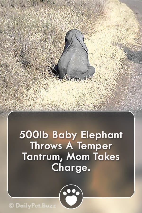 500lb Baby Elephant Throws A Temper Tantrum, Mom Takes Charge.