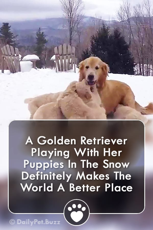 A Golden Retriever Playing With Her Puppies In The Snow Definitely Makes The World A Better Place