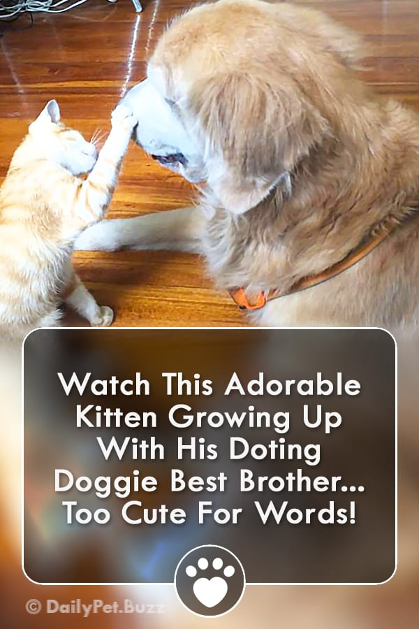 Watch This Adorable Kitten Growing Up With His Doting Doggie Best Brother... Too Cute For Words!
