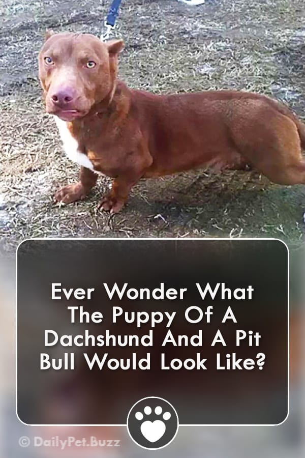 Ever Wonder What The Puppy Of A Dachshund And A Pit Bull Would Look Like?