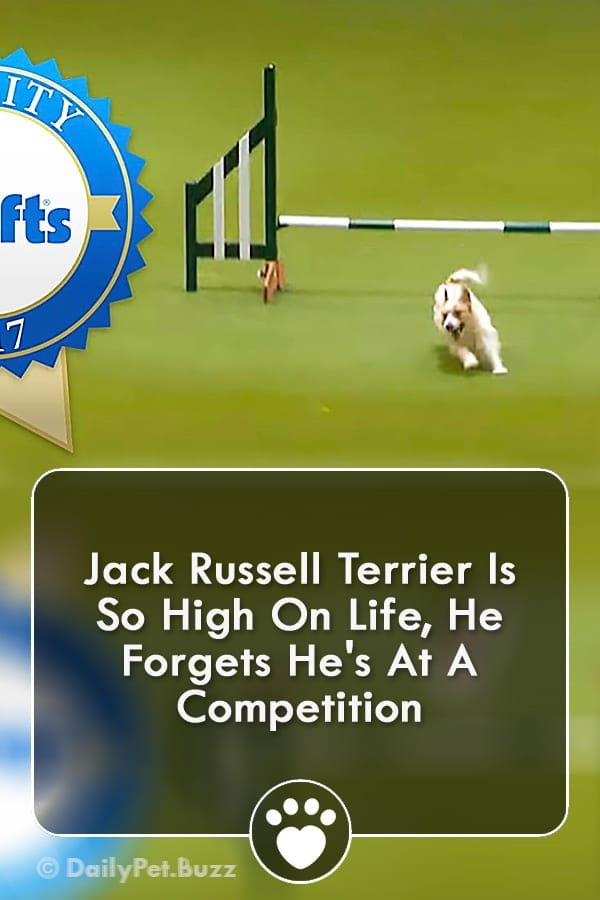 Jack Russell Terrier Is So High On Life, He Forgets He\'s At A Competition