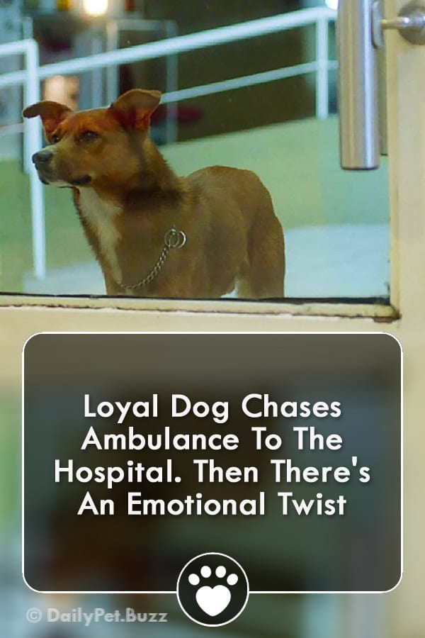 Loyal Dog Chases Ambulance To The Hospital. Then There\'s An Emotional Twist