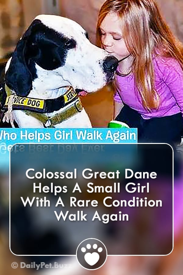 Colossal Great Dane Helps A Small Girl With A Rare Condition Walk Again