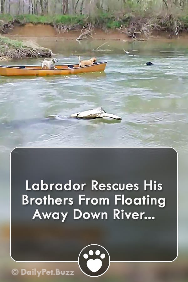 Labrador Rescues His Brothers From Floating Away Down River...