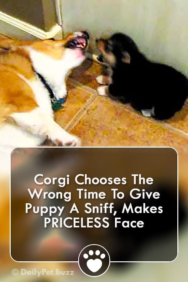 Corgi Chooses The Wrong Time To Give Puppy A Sniff, Makes PRICELESS Face