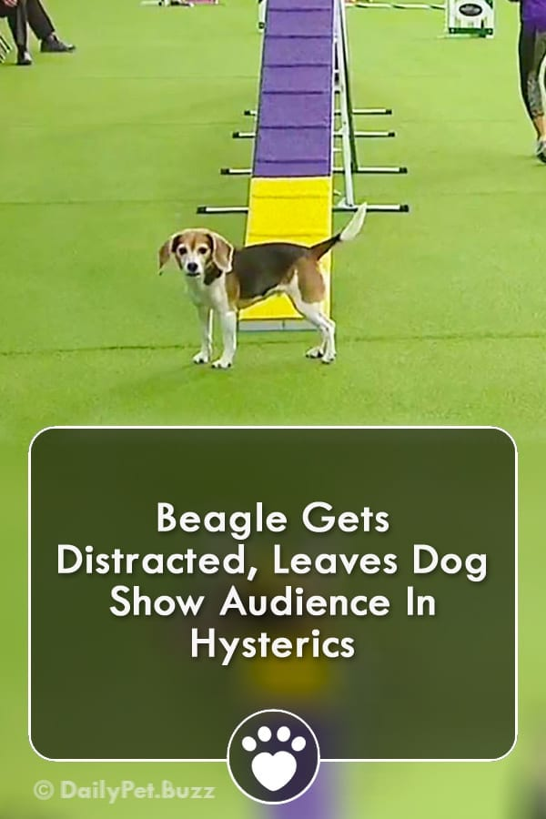 Life can be full of distractions, it\'s how you handle these distractions that is the important bit. #animals #animalvideos #beagles #dogs #dogvideos #funny #pets #video