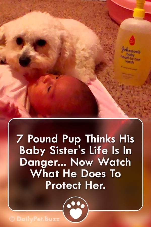7 Pound Pup Thinks His Baby Sister\'s Life Is In Danger... Now Watch What He Does To Protect Her.