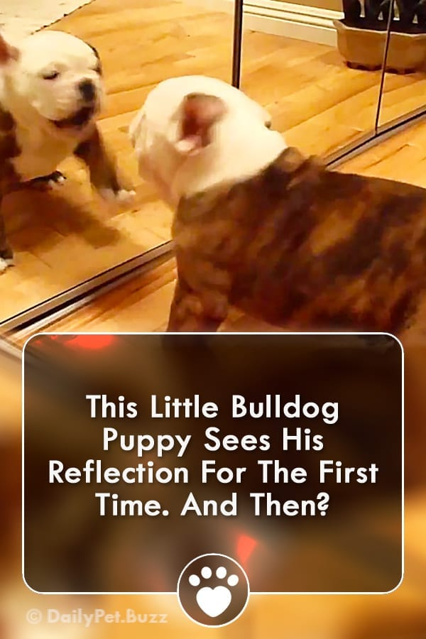 This Little Bulldog Puppy Sees His Reflection For The First Time. And Then?