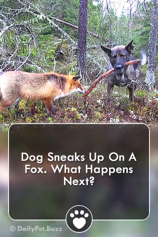 Dog Sneaks Up On A Fox. What Happens Next?