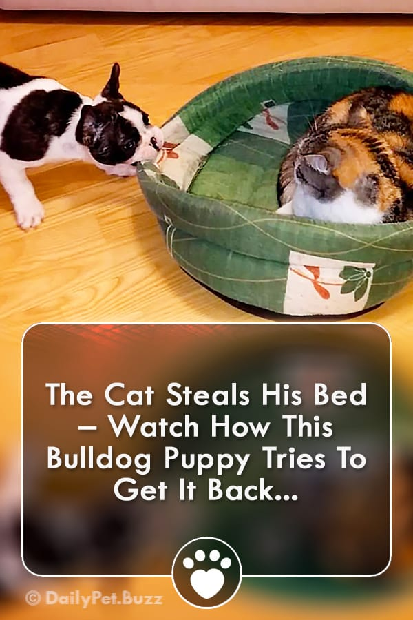 The Cat Steals His Bed – Watch How This Bulldog Puppy Tries To Get It Back...
