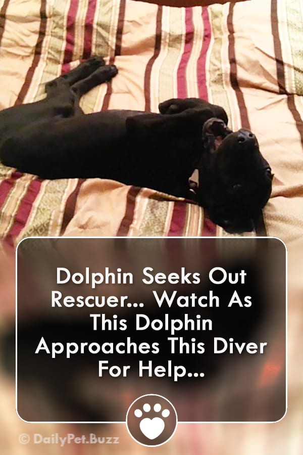 Dolphin Seeks Out Rescuer... Watch As This Dolphin Approaches This Diver For Help...