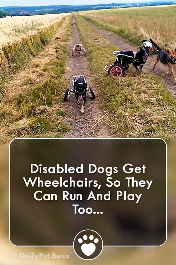 Disabled Dogs Get Wheelchairs, So They Can Run And Play Too...