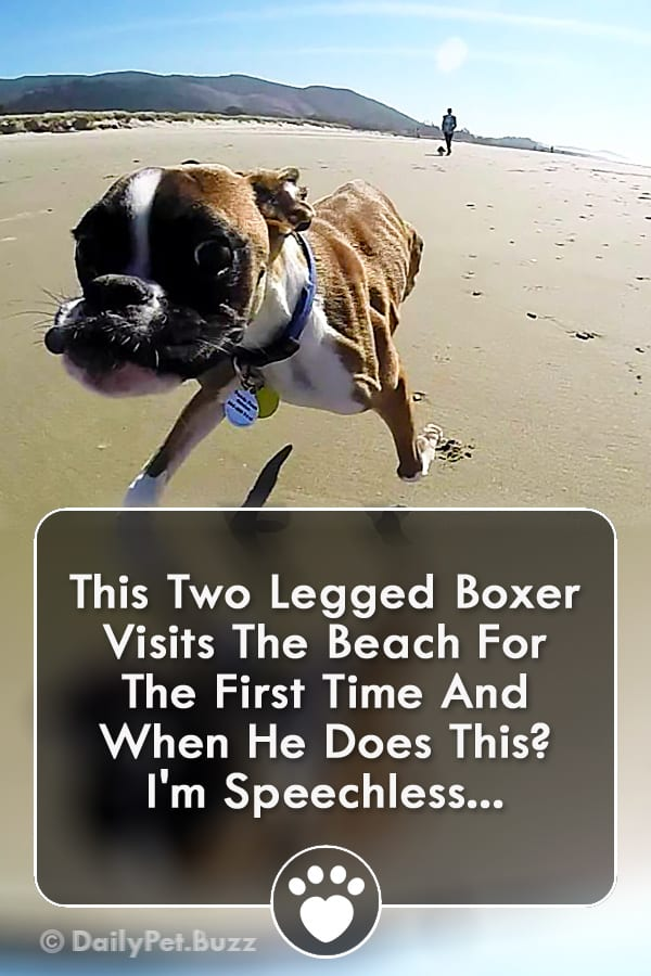 This Two Legged Boxer Visits The Beach For The First Time And When He Does This? I\'m Speechless...