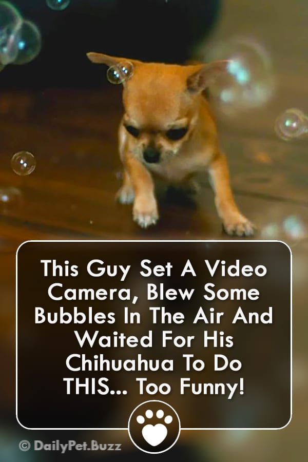 This Guy Set A Video Camera, Blew Some Bubbles In The Air And Waited For His Chihuahua To Do THIS... Too Funny!