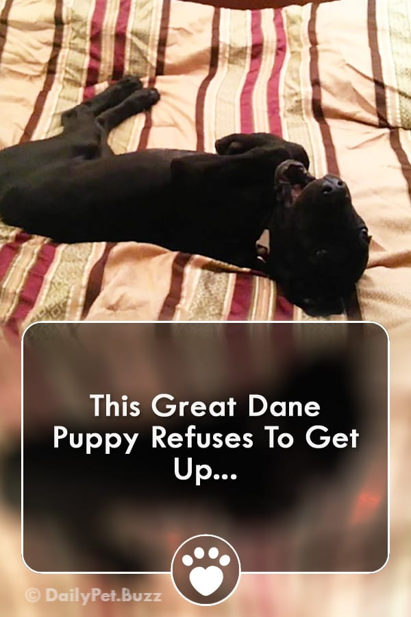 This Great Dane Puppy Refuses To Get Up...