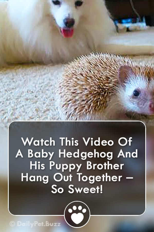 Watch This Video Of A Baby Hedgehog And His Puppy Brother Hang Out Together – So Sweet!