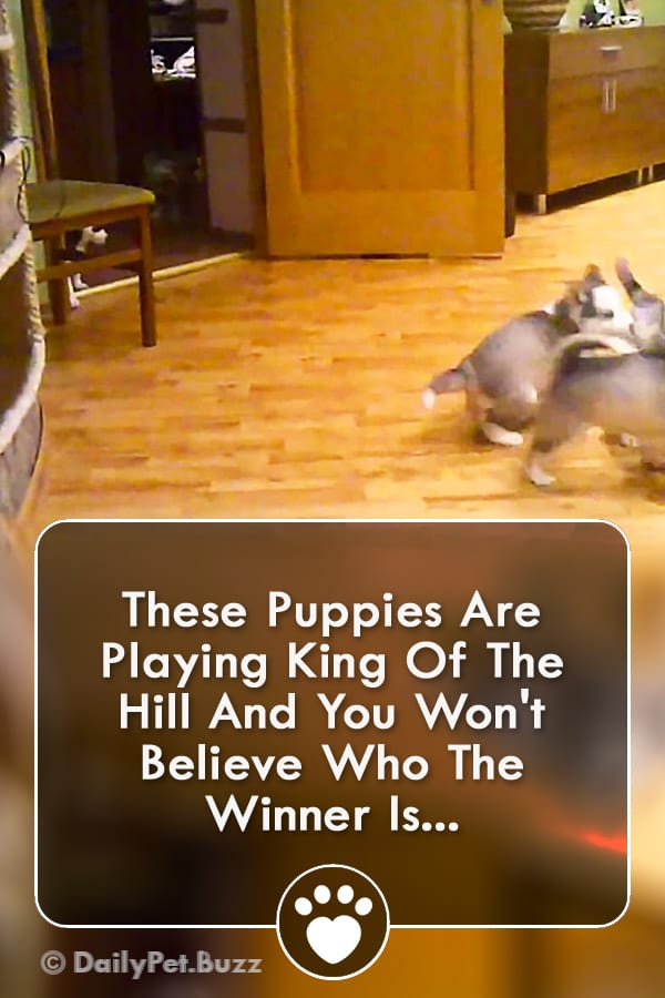 These Puppies Are Playing King Of The Hill And You Won\'t Believe Who The Winner Is...