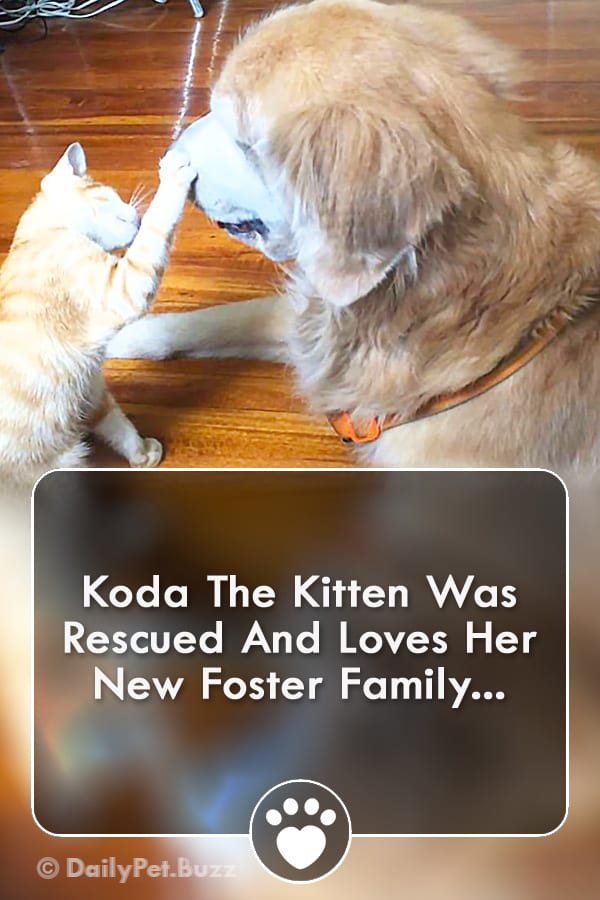 Koda The Kitten Was Rescued And Loves Her New Foster Family...
