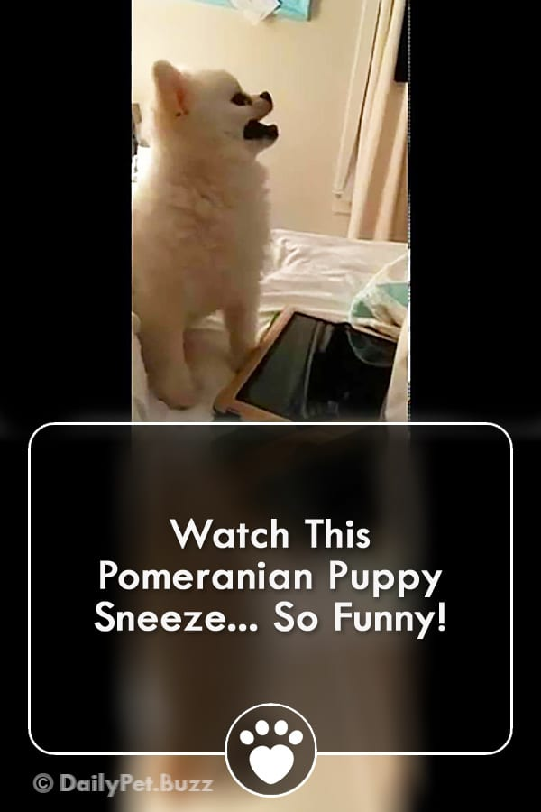 Watch This Pomeranian Puppy Sneeze... So Funny!