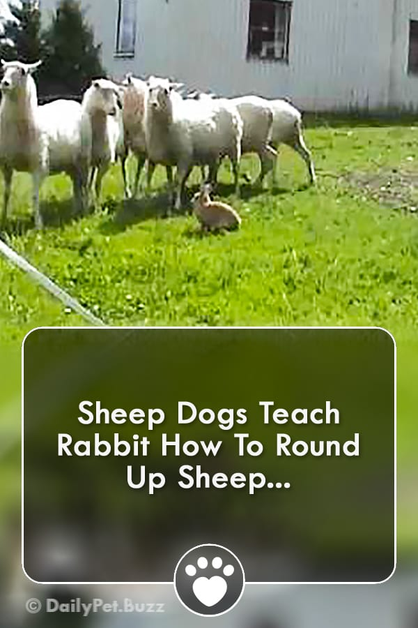 Sheep Dogs Teach Rabbit How To Round Up Sheep...