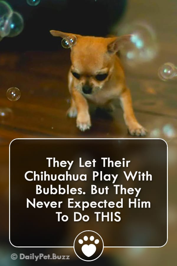 They Let Their Chihuahua Play With Bubbles. But They Never Expected Him To Do THIS