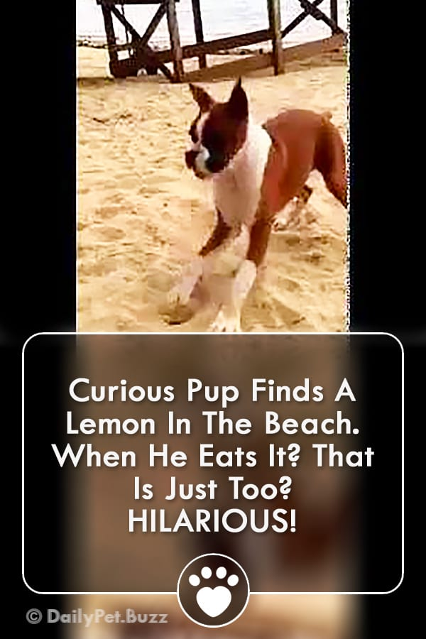 Curious Pup Finds A Lemon In The Beach. When He Eats It? That Is Just Too? HILARIOUS!