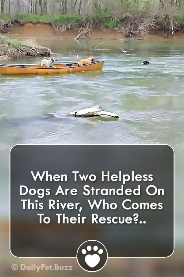 When Two Helpless Dogs Are Stranded On This River, Who Comes To Their Rescue?..