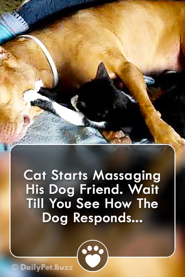 Cat Starts Massaging His Dog Friend. Wait Till You See How The Dog Responds...