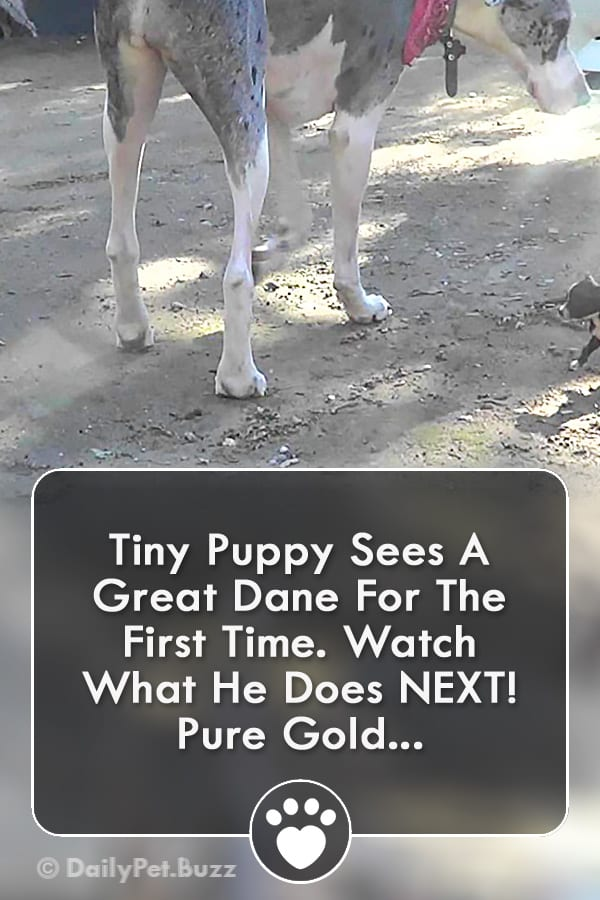Tiny Puppy Sees A Great Dane For The First Time. Watch What He Does NEXT! Pure Gold...