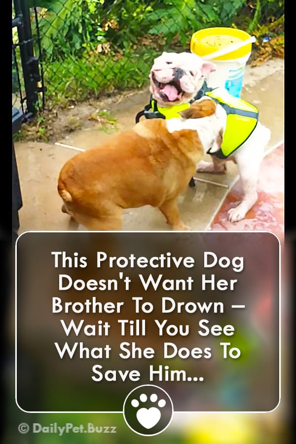 This Protective Dog Doesn\'t Want Her Brother To Drown – Wait Till You See What She Does To Save Him...