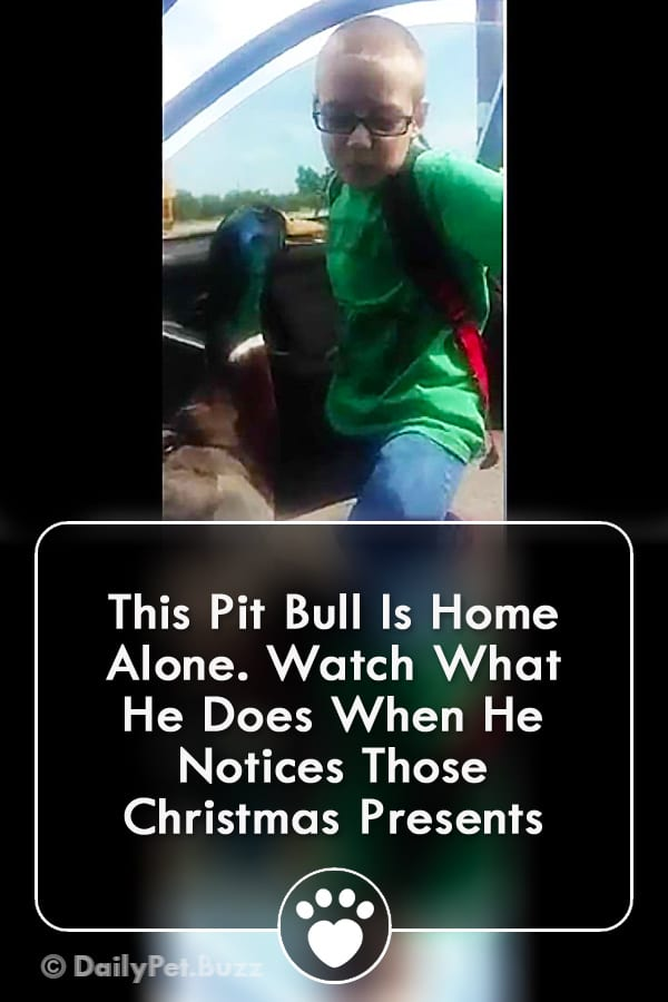 This Pit Bull Is Home Alone. Watch What He Does When He Notices Those Christmas Presents