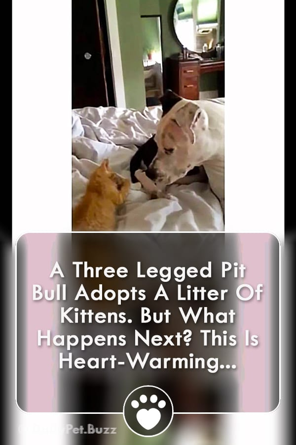 A Three Legged Pit Bull Adopts A Litter Of Kittens. But What Happens Next? This Is Heart-Warming...