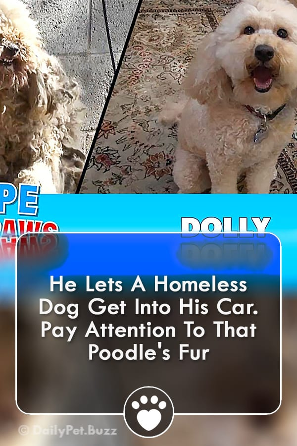 He Lets A Homeless Dog Get Into His Car. Pay Attention To That Poodle\'s Fur