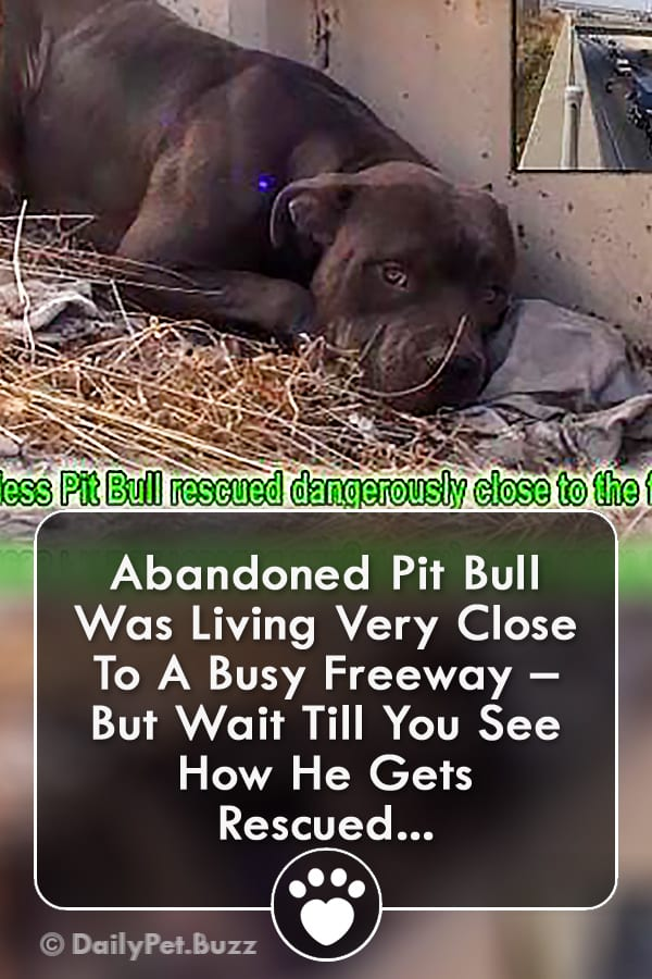 Abandoned Pit Bull Was Living Very Close To A Busy Freeway – But Wait Till You See How He Gets Rescued...