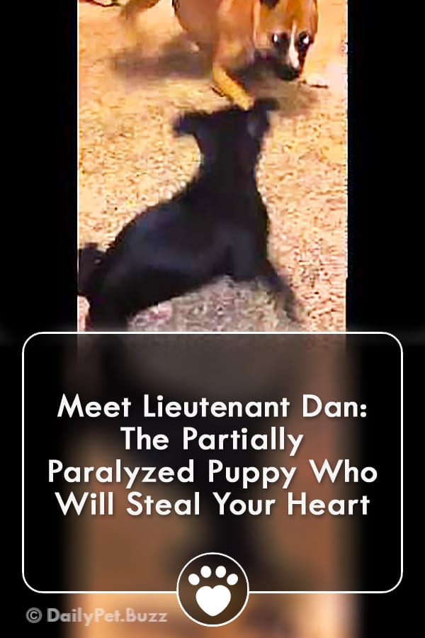 Meet Lieutenant Dan: The Partially Paralyzed Puppy Who Will Steal Your Heart