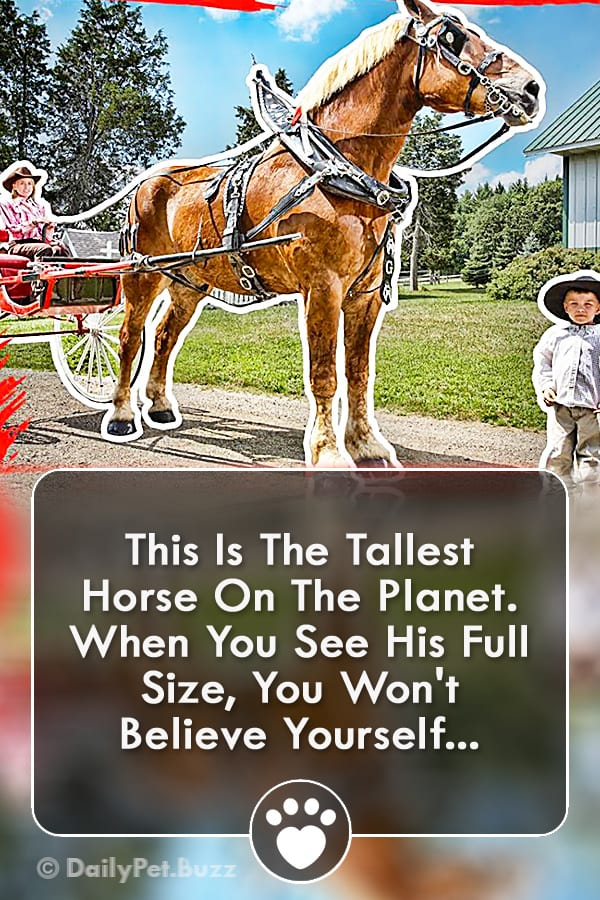 This Is The Tallest Horse On The Planet. When You See His Full Size, You Won\'t Believe Yourself...
