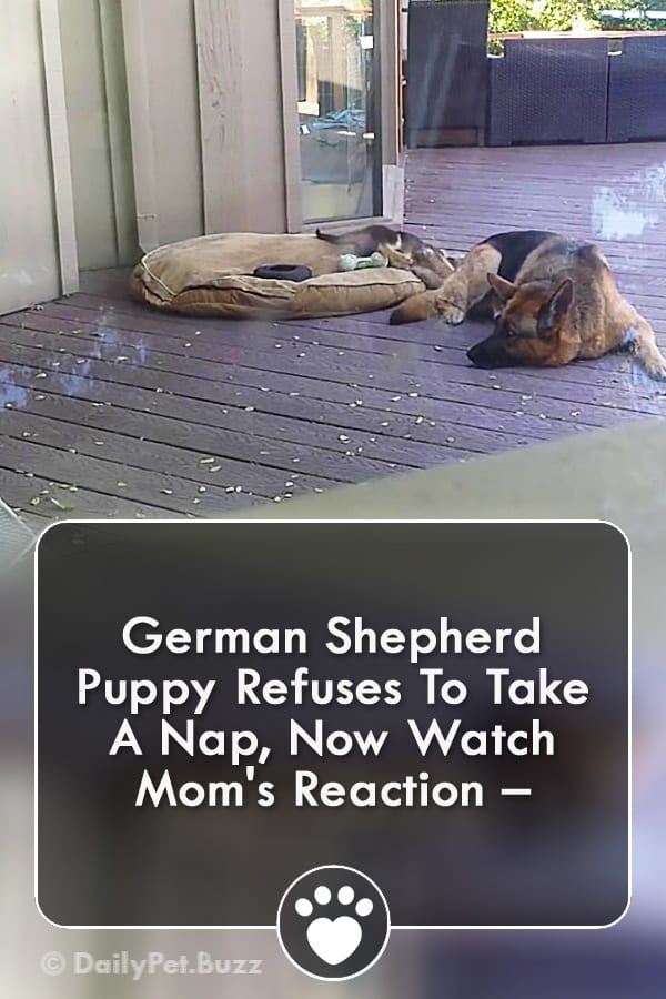 German Shepherd Puppy Refuses To Take A Nap, Now Watch Mom\'s Reaction –