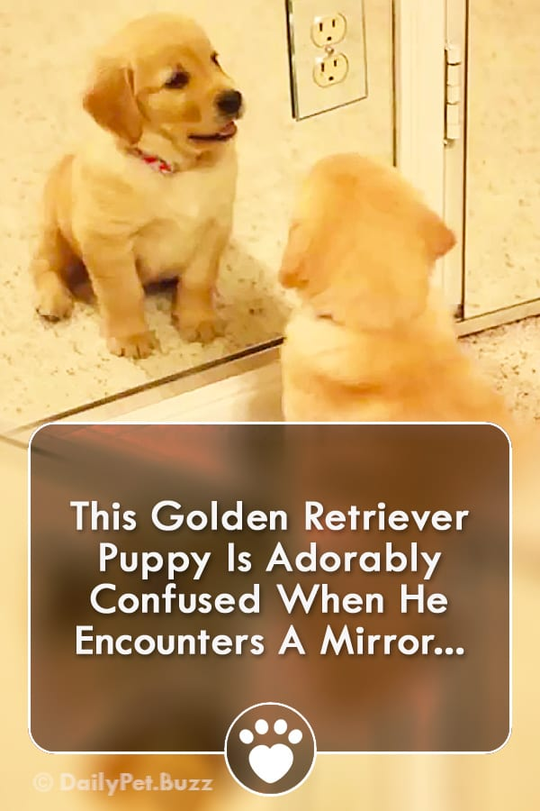 This Golden Retriever Puppy Is Adorably Confused When He Encounters A Mirror...