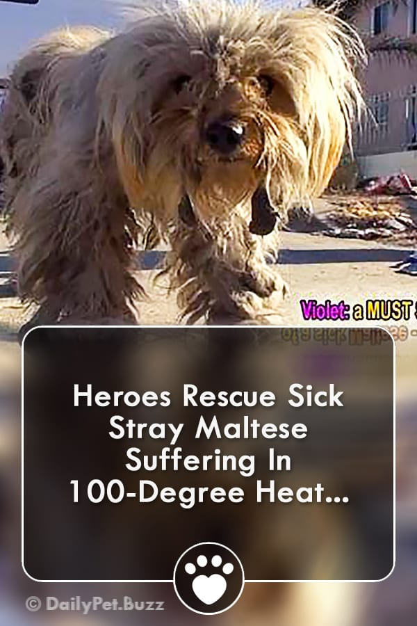 Heroes Rescue Sick Stray Maltese Suffering In 100-Degree Heat...