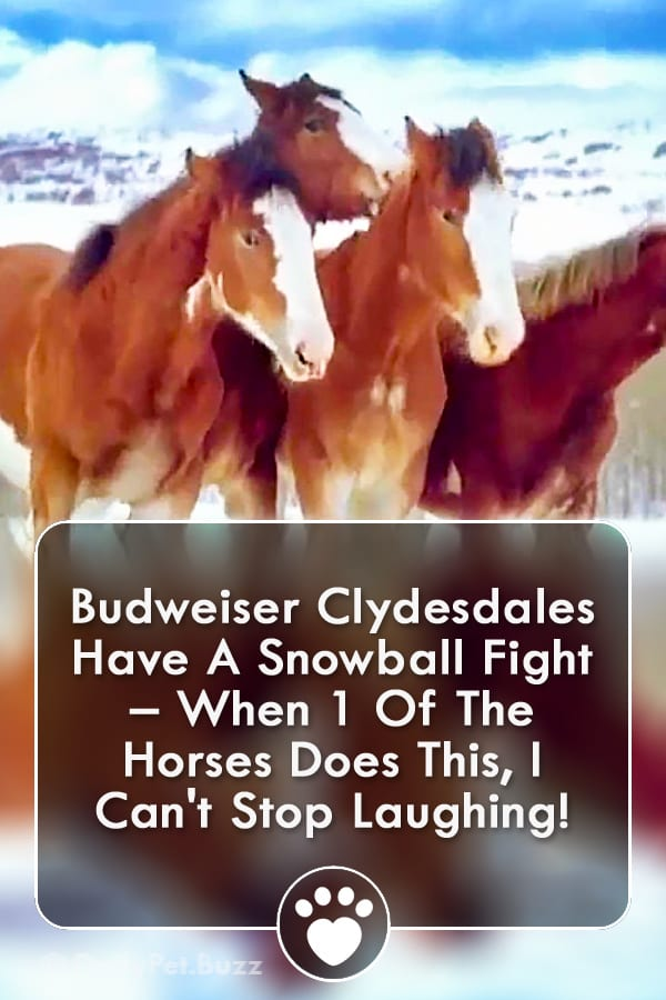Budweiser Clydesdales Have A Snowball Fight – When 1 Of The Horses Does This, I Can\'t Stop Laughing!