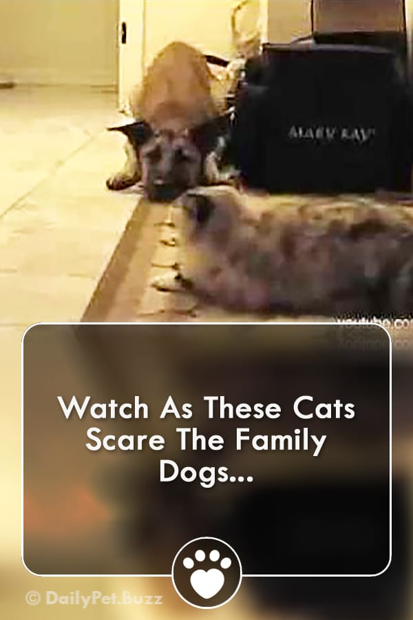 Watch As These Cats Scare The Family Dogs...
