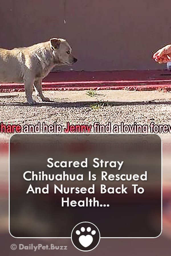 Scared Stray Chihuahua Is Rescued And Nursed Back To Health...