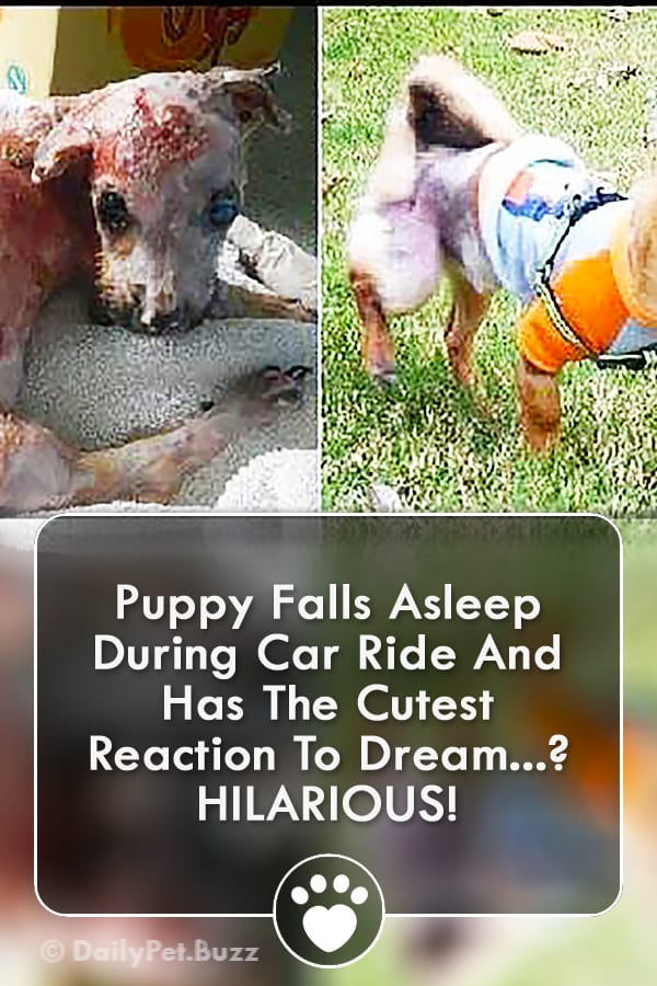 Puppy Falls Asleep During Car Ride And Has The Cutest Reaction To Dream? HILARIOUS!